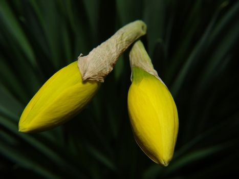 Two narcissus sprout with green leaves at the background.