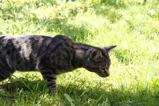 tabby cat looking at something in the grass