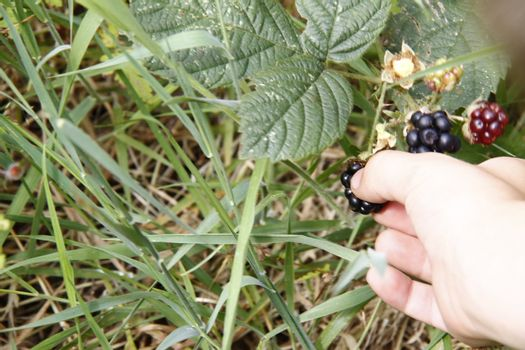 hand picking frsh blackberries from a wild blackberry bush