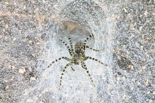 Funnel spider in web