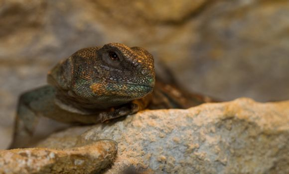 head and eye close up of Egyptian Uromastyx