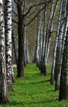 Birch Tree Alley