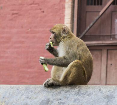 single monkey in nepal sitting on a wall. horizontal image.