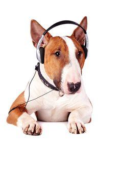 Bull terrier in earphones