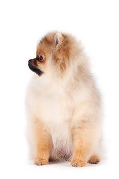 Puppy of a spitz-dog