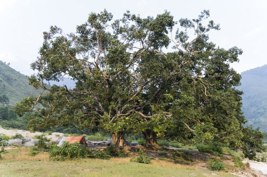 huge tree with small tent in nepal, asia