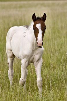 Horse colt Saskatchewan Field