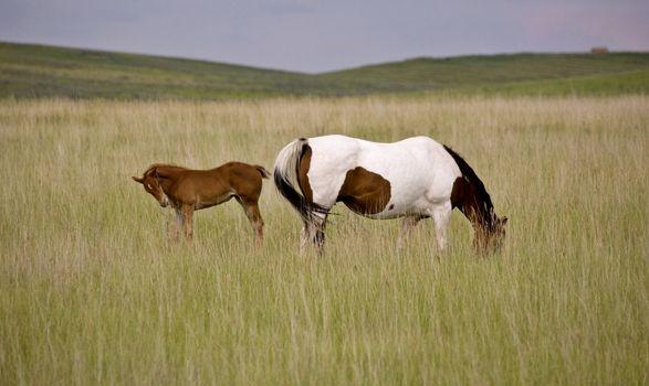 Horse mare and colt Saskatchewan Field