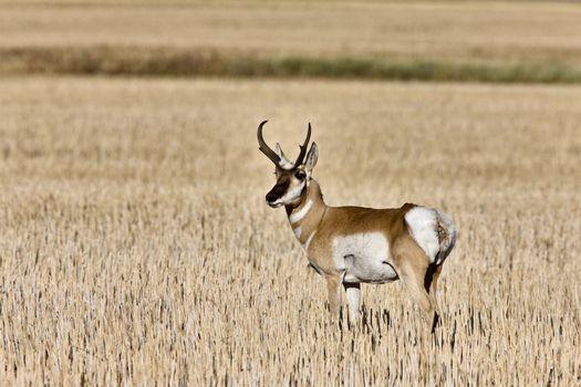 Pronghorn Antelope buck antlers