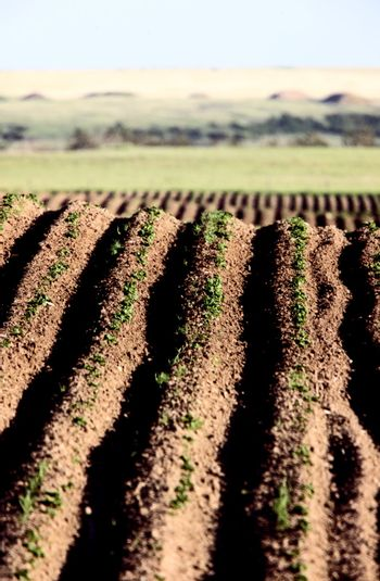 Seed rows
