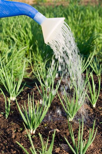 Spring onion is watered from can on the vegetable patch