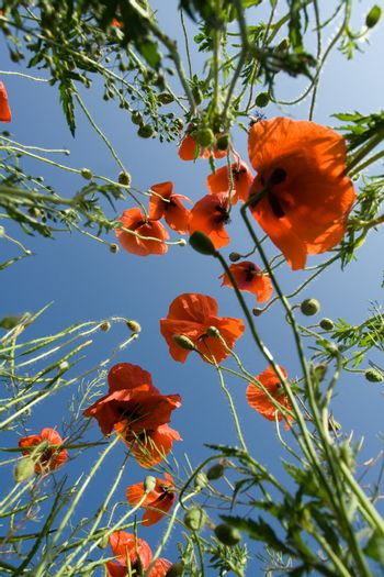 Red poppies and poppyheads  from the ground level on the blue sky background