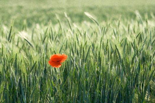 One red poppy is growing in a cereal field