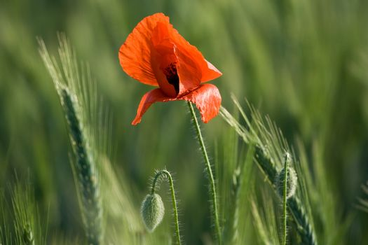 Ear of cereals, poppyheads and one red poppy close-up on the cereal field background