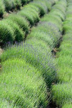 Diagonal rows of flowering lavender plantation