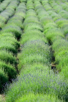 Flowering lavender field in spring