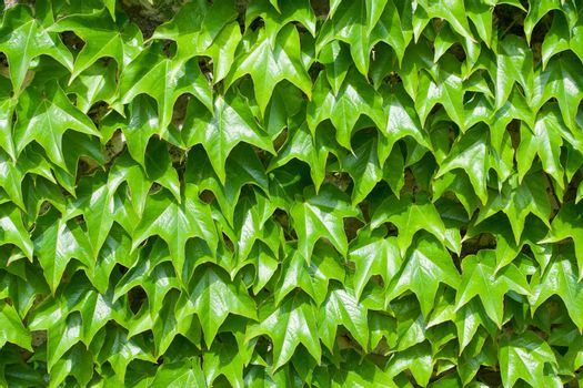 Folliage pattern of fresh green climbing ivy leaves close-up on the wall