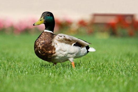 Mallard is walking on the green grass in park