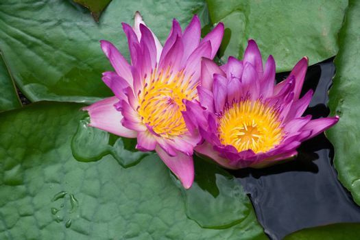 Two violet water lilies Nymphaea on the lake surface
