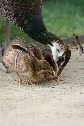 Mother bird peafowl is teaching and feeding her chicks in the park