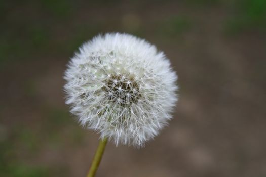 wish dandelion