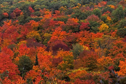 Colorful leaves of a maple tree in the fall at Gatineau Park