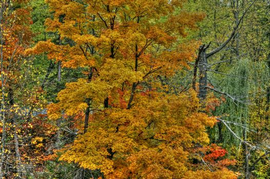 Colorful leaves of a maple tree in the fall