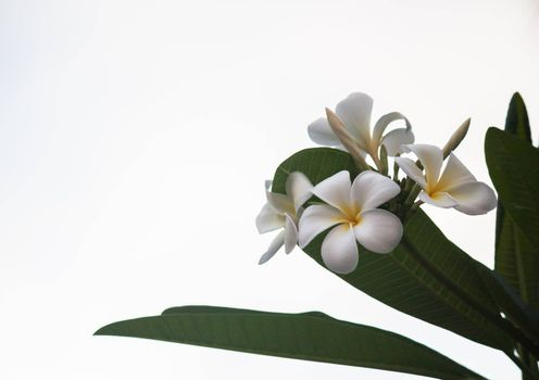 white and yellow frangipani flowers with leaves background