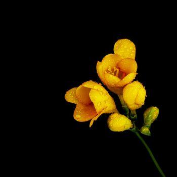 Yellow flower on black background