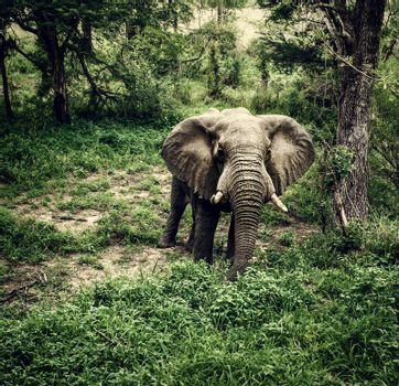 Elephant in fresh woods