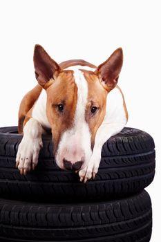 Bull terrier and wheels