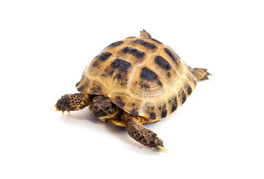 Asian or Russian tortoise