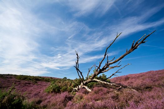old dry tree in heather