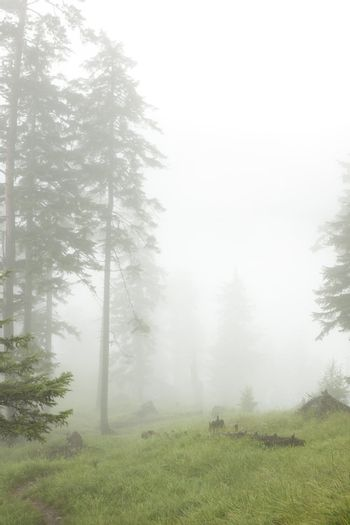 coniferous forest in fog