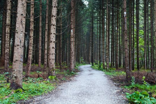 old coniferous forest