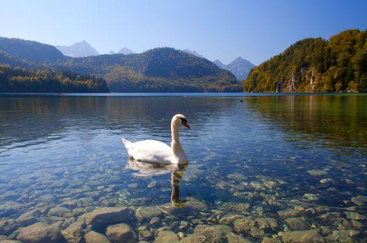 white swan on Alpsee