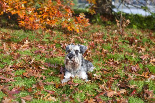 cute miniature schnauzer in autumn