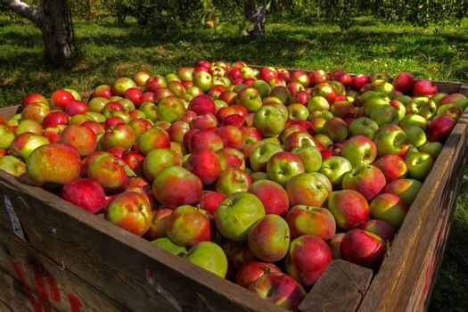 Crate of red apples on a sunny day in apple orchard