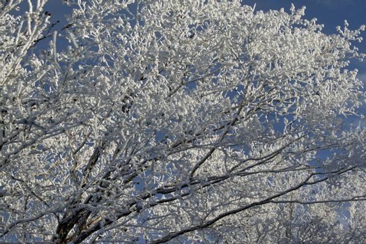 Snow ladden trees frosted after a winter storm