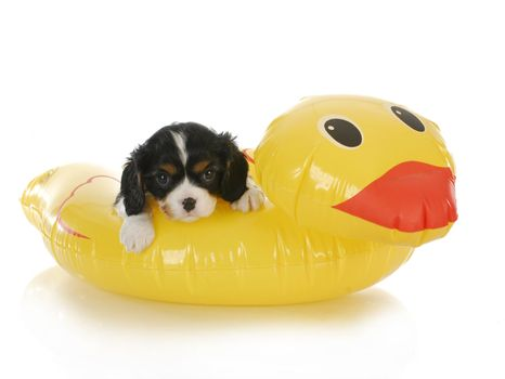 dog water safety - cavalier king charles spaniel on water floatation device