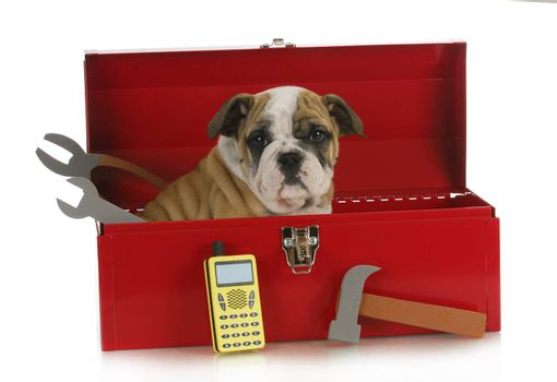 working dog - english bulldog puppy sitting in a tool box isolated on white background