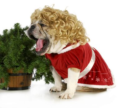 christmas dog - english bulldog female wearing blonde wig and red dress sitting beside christmas tree