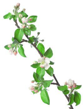 Apple branch in blossom