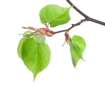 Branch lime