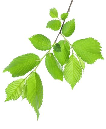 Branch of green leaves