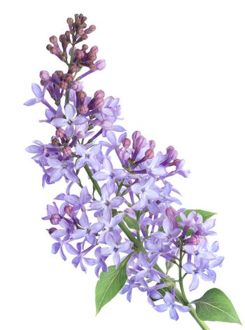 Lilac branch isolated