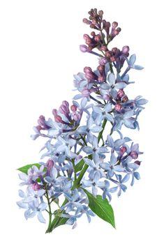 Branch Lilac