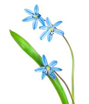 Snowdrops  blue
