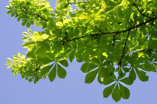 Chestnut branches