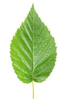 Raspberry leaves